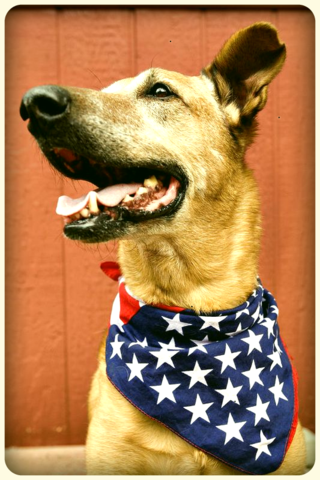 Dog-with-american-flag-dawn-kish